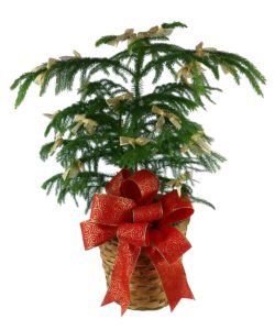 The Norfolk pine is the perfect little potted tree for the holidays and all year long! Presented in a basket with a big holiday bow, it makes a great addition to their indoor décor.